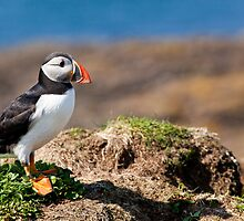 Puffin Standing on Cliff in Scotland's Inner Hebrides by Christy Woodrow