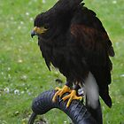 Stanley   Harris Hawk by lynn carter