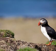 Puffin in Scotland - Treshnish Isles by Christy Woodrow