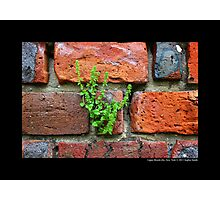 A Single Plant Growing Out Of The Old Red Brick Wall - Upper Brookville, New York  Photographic Print