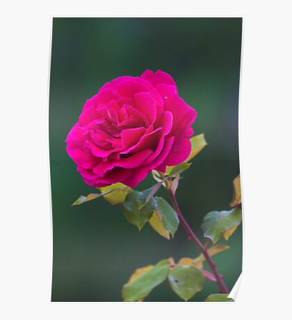 rose in Military Academy gardens. Poster