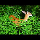Odocoileus Virginianus - North American White - Tailed Deer - Middle Island, New York by © Sophie W. Smith