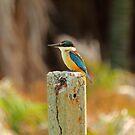Scared Kingfisher by tinnieopener