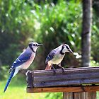 Backyard Blue Jays 'Jay birds' in Florida by Rick Short