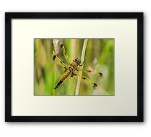 Four-spotted Chaser Dragonfly Framed Print