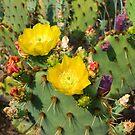 Blooming Cactuses Cactaceae Opuntia by kirilart