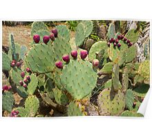 Cactuses Cactaceae Opuntia with fruits Poster