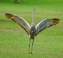 Sandhill Crane by farmbrough