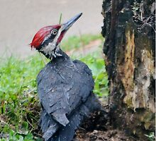 Pileated Woodpecker by farmbrough