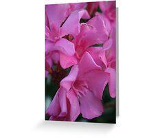 Closeup Shot of Pink Flowers on Oleander Shrub.  Greeting Card