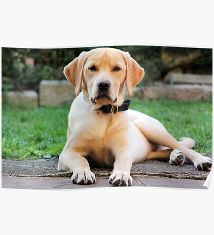 Maximus Labrador Retriever Gold Poster