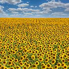 Sunflower Afternoon - Texas Wildflower Images - Happiness by RobGreebonPhoto