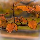 European Beech (Fagus sylvatica) by Elaine Teague
