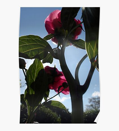 Giant Peonies Poster
