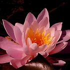 321, 237 Views to date..PINK WATER LILLY~ by RoseMarie747