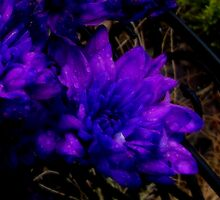Purple Rain... by shelleybabe2