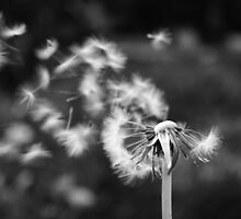dandelion blowing in the breeze by adam9596