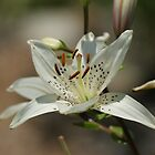 White Lilly by Rick  Friedle