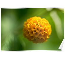 Early Buddleia blooms Poster