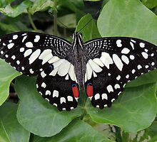 Citrus Lime Swallowtail Butterfly 01 by Magic-Moments