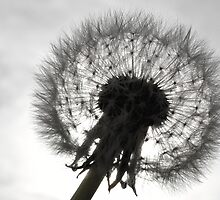 Dandelion in front if the sun silhouette by adam9596