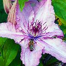 1677-insect on the clematis by elvira1