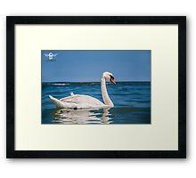 Beautiful swan Framed Print