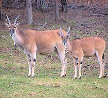 Eland Mother And Young by Ginny York
