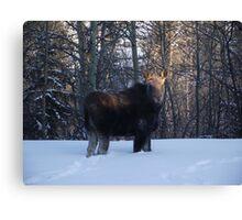 Moose - British Columbia Canada Canvas Print