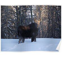 Moose - British Columbia Canada Poster