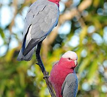 A Male & Female Galah In Our Back Paddock. Cedar Creek, Qld, Australia. by Ralph de Zilva