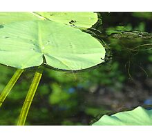 Lily Pads Photographic Print