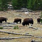 Buffalo in Yellowstone National Park by Jan  Tribe