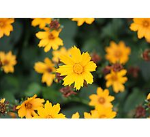 Tickseed in bloom Photographic Print