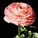 Salmon Ranunculus by Sharon Woerner
