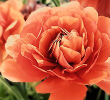 Peachy Ranunculus by Sharon Woerner