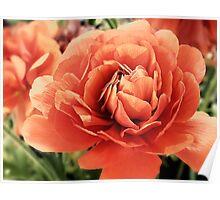 Peachy Ranunculus Poster