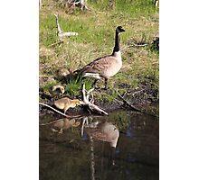 Canada Goose reflection II Photographic Print