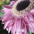 Pink Gerbera by Angela Stewart