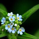 Forget-Me-Nots by Arla M. Ruggles