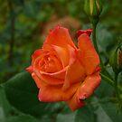 One Rose by Gail Bridger