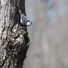 White-breasted Nuthatch by PhotosByHealy