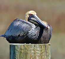 Lazy Pelican by Kathy Baccari