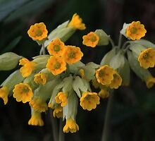 Cowslips, Primula Veris, Upper Tees Valley, North England. by Ian Alex Blease