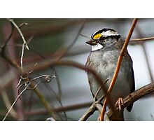 Can You See Me? - White-throated Sparrow Photographic Print