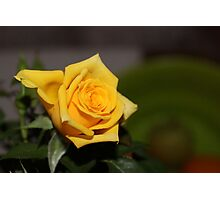 A Texas Yellow Rose Photographic Print