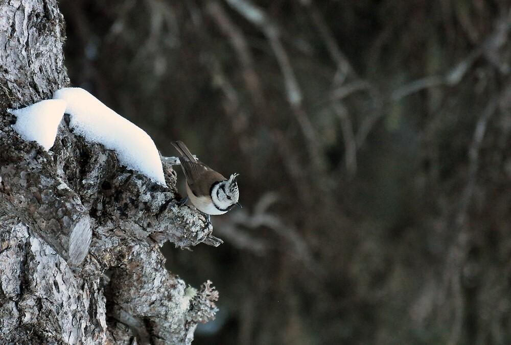Crested Tit - Lophophanes cristatus by Chris Monks