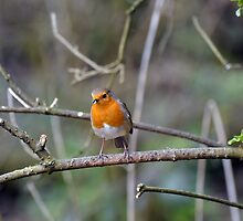 Robin - Pennington Flash by Chris Monks