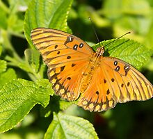 Gulf Fritillary Butterfly by ValeriesGallery