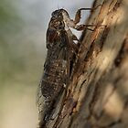Cicada by Mick Gosling